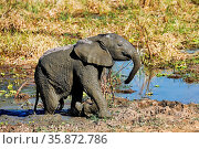 Junger Elefant im Matsch im South Luangwa Nationalpark, Sambia, (... Стоковое фото, фотограф Zoonar.com/WIBKE WOYKE / age Fotostock / Фотобанк Лори
