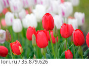 Colourful tulips. Стоковое фото, агентство Ingram Publishing / Фотобанк Лори
