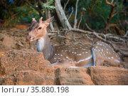 Лежащий дикий пятнистый оленей, живущий в Форте Фредерик, крупным планом. Тринкомали, Шри-Ланка (2020 год). Стоковое фото, фотограф Виктор Карасев / Фотобанк Лори