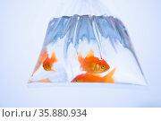 Goldfish. Стоковое фото, агентство Ingram Publishing / Фотобанк Лори