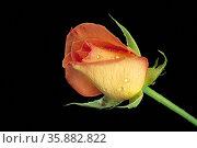 flower/beautiful/decoration/nature/celebrations Details. Стоковое фото, агентство Ingram Publishing / Фотобанк Лори
