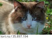 Кошка породы священная бирма (бирманская кошка) с комаром на носу. Стоковое фото, фотограф glokaya_kuzdra / Фотобанк Лори