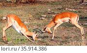 Kämpfende Impalamännchen im Kruger Nationalpark, Schwarzfersenantilope... Стоковое фото, фотограф Zoonar.com/W. Woyke / age Fotostock / Фотобанк Лори