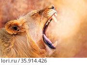 Gähnende Löwin im warmen Nachmittagslicht, Südafrika, yawning lioness... Стоковое фото, фотограф Zoonar.com/WIBKE WOYKE / age Fotostock / Фотобанк Лори