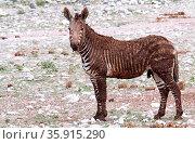 Hartmanns Bergzebra voller Matsch, Etosha NP, Namibia, mountain zebra... Стоковое фото, фотограф Zoonar.com/Wibke Woyke / age Fotostock / Фотобанк Лори