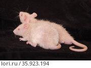 Two little baby rats. Стоковое фото, фотограф Argument / Фотобанк Лори