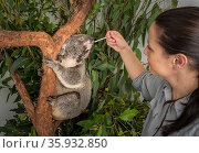 Veterinary nurse feeding an injured and rescued koala (Phascolarctos cinereus) antibiotics in a rescue enclosure whilst it clings onto a tree.  Captive at Endeavour Ecology Centre, Toorbul, Queensland, Australia. April 2017 Editorial use only. Редакционное фото, фотограф Doug Gimesy / Nature Picture Library / Фотобанк Лори