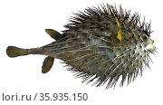 Long-spined porcupine fish. Редакционное фото, агентство World History Archive / Фотобанк Лори