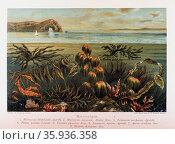 Meeresalgen in: Das Meer by M. J. Schleiden, 1804-1881. Редакционное фото, агентство World History Archive / Фотобанк Лори