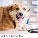 Doctor examining golden retriever dog in vet clinic. Стоковое фото, фотограф Elnur / Фотобанк Лори