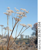 Common hogweed (Heracleum sphondylium) and other lake margin vegetation covered in hoar frost on a cold winter morning, Bowood Park, Wiltshire, UK, December. Стоковое фото, фотограф Nick Upton / Nature Picture Library / Фотобанк Лори