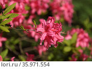 Rhododendron hybridum Rosy Lights in spring. Стоковое фото, фотограф Валерия Попова / Фотобанк Лори