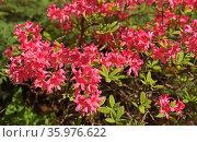 Rhododendron hybridum Rosy Lights, woody plant in heath family (Ericaceae), deciduous. Стоковое фото, фотограф Валерия Попова / Фотобанк Лори
