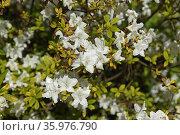 Rhododendron (dauricum) April Reign in spring. Стоковое фото, фотограф Валерия Попова / Фотобанк Лори