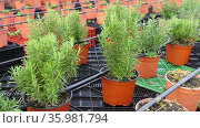 Pots with fresh aromatic rosemary at greenhouse farm. Стоковое видео, видеограф Яков Филимонов / Фотобанк Лори