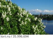Кусты цветущей сирени на высоком берегу реки Волги и вид на город Тутаев, Борисоглебская сторона. Стоковое фото, фотограф Natalya Sidorova / Фотобанк Лори