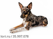 Studio portrait of a rescued Australian shepherd / cattle dog mix with a merle coat on white background. Стоковое фото, фотограф Karine Aigner / Nature Picture Library / Фотобанк Лори