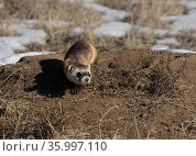 Black-footed ferret (Mustela nigripes) creeping out of a prairie dog burrow. Colorado, USA. January. Стоковое фото, фотограф Charlie Summers / Nature Picture Library / Фотобанк Лори