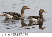 Greylag geese (Anser anser) pair swimming on the river. Warkworth, Northumberland, England, UK. March. Стоковое фото, фотограф Roger Powell / Nature Picture Library / Фотобанк Лори