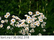 Beautiful large daisies with a white petals. Стоковое фото, фотограф Володина Ольга / Фотобанк Лори