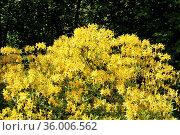 Куст рододендрона с желтыми цветами (Rhododendron) Стоковое фото, фотограф Илюхина Наталья / Фотобанк Лори