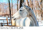 Head of white horse at the farm in winter sunny day. Стоковое фото, фотограф Zoonar.com/Alexander Blinov / easy Fotostock / Фотобанк Лори