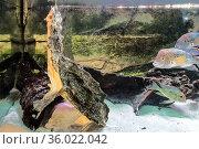 Fringed turtle (Chelus fimbriatus) in the aquarium breathing air and cichlid fishes (Andinoacara rivulatus) Стоковое фото, фотограф Наталья Волкова / Фотобанк Лори