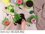 Bright petunia flowers. Female hands transplant seedlings into pots. Стоковое фото, фотограф Сергей Молодиков / Фотобанк Лори
