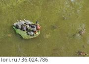 Красноухие черепахи (лат. Trachemys scripta) и один селезень кряквы (лат. Anas platyrhynchos) на искусственном острове в пруду. Стоковое фото, фотограф Наталья Гармашева / Фотобанк Лори