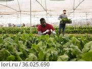 African american worker gathering in crops of green chard. Стоковое фото, фотограф Яков Филимонов / Фотобанк Лори
