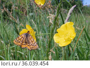 Marsh fritillary butterfly (Euphydryas aurinia) nectaring on a Meadow buttercup (Ranunculus acris) flower in a chalk grassland meadow, Wiltshire, UK, June. Стоковое фото, фотограф Nick Upton / Nature Picture Library / Фотобанк Лори