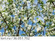 Ветви яблони с белыми цветами, на фоне неба. Весенний солнечный день. Стоковое фото, фотограф E. O. / Фотобанк Лори