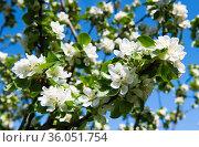 Весенний день. Цветы яблони на фоне голубого неба. Стоковое фото, фотограф E. O. / Фотобанк Лори