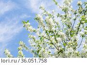 Ветви яблони, усыпанные белыми цветами, на фоне голубого неба с белыми облаками. Весенний день, солнечно. Стоковое фото, фотограф E. O. / Фотобанк Лори