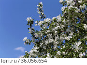 Яблоня цветет . На фоне голубого неба.. Стоковое фото, фотограф Анатолий Матвейчук / Фотобанк Лори
