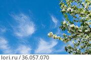 Ветви яблони, усыпанные белыми цветами. На фоне голубого неба. Весенний солнечный день. Стоковое фото, фотограф E. O. / Фотобанк Лори