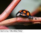 A ladybug and a midge eating its milk on a Bush branch. Стоковое фото, фотограф Сергей Фролов / Фотобанк Лори