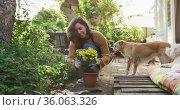 Smiling caucasian woman planting yellow flowers in sunny garden her pet dogs watching her. Стоковое видео, агентство Wavebreak Media / Фотобанк Лори