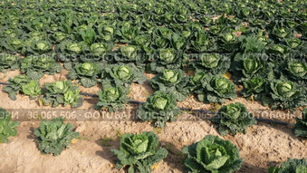 Ripe heads of organic savoy cabbage on large farm field. Concept of growing popular vegetable crop