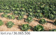 Ripe heads of organic savoy cabbage on large farm field. Concept of growing popular vegetable crop. Стоковое видео, видеограф Яков Филимонов / Фотобанк Лори