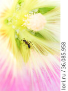 Insect ant on pink flower petals, plant pollination, floral summer background. Стоковое фото, фотограф Светлана Евграфова / Фотобанк Лори