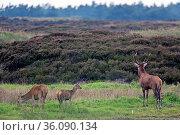 Rotwild die Weibchen beenden ihre koerperliche Entwicklung meist mit... Стоковое фото, фотограф Zoonar.com/Helge Schulz / easy Fotostock / Фотобанк Лори
