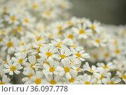 Flora of Gran Canaria - Tanacetum ptarmiciflorum, silver tansy, plant endemic to the island, natural macro floral background. Стоковое фото, фотограф Tamara Kulikova / Фотобанк Лори