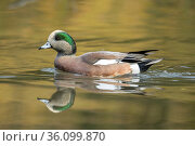 American wigeon swims in the pond at Cannon Hill Park in Spokane,... Стоковое фото, фотограф Zoonar.com/Gregory Johnston / easy Fotostock / Фотобанк Лори