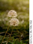 A sphere of dandelion seeds (Taraxacum officinale) close-up. Стоковое фото, фотограф Татьяна Ляпи / Фотобанк Лори