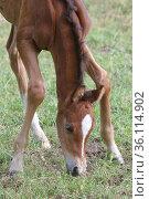 """Graditz stud, suckling foal tries to eat grass in a pasture"" (2020 год). Редакционное фото, агентство Caro Photoagency / Фотобанк Лори"
