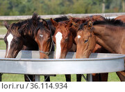 """""""Itlingen stud, weanling foals eating together from a feeding table in a paddock"""" (2020 год). Редакционное фото, агентство Caro Photoagency / Фотобанк Лори"""
