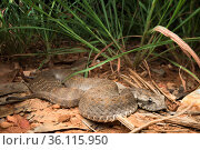 Rough-scaled death adder (Acanthophis rugosus), Cox Peninsula, Northern Territory, Australia, December. Стоковое фото, фотограф Etienne Littlefair / Nature Picture Library / Фотобанк Лори