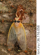 17 year Periodical cicada (Magicicada septendecim) teneral adult Brood X cicada, shortly after molting, Maryland, USA, June 2021 Sequence 12 of 12. Стоковое фото, фотограф John Cancalosi / Nature Picture Library / Фотобанк Лори