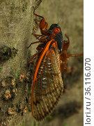 17 year Periodical cicada (Magicicada septendecim) recently metamorphosed adult. Brood X cicada. Maryland, USA, June 2021. Стоковое фото, фотограф John Cancalosi / Nature Picture Library / Фотобанк Лори